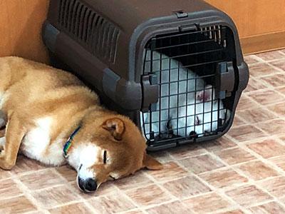 落ち着ける場所でお昼寝(クレートトレーニング)