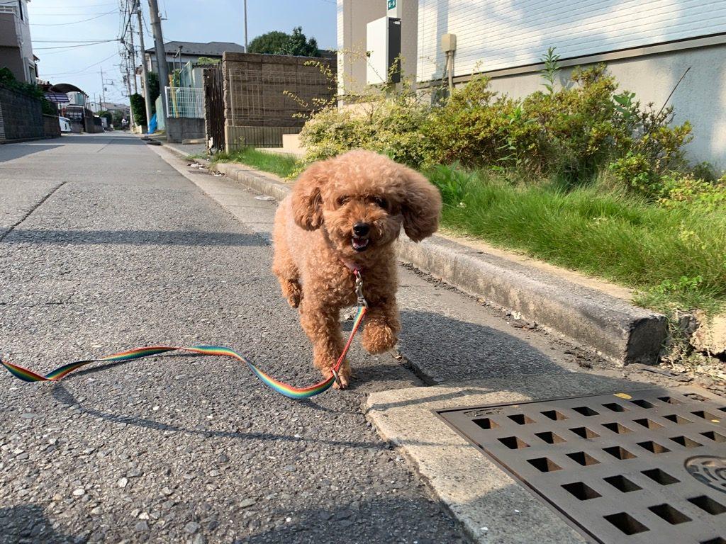 ミリーちゃん(トイプードル・女の子)